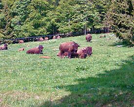 Echte Bisons und echte Wadenbeisser